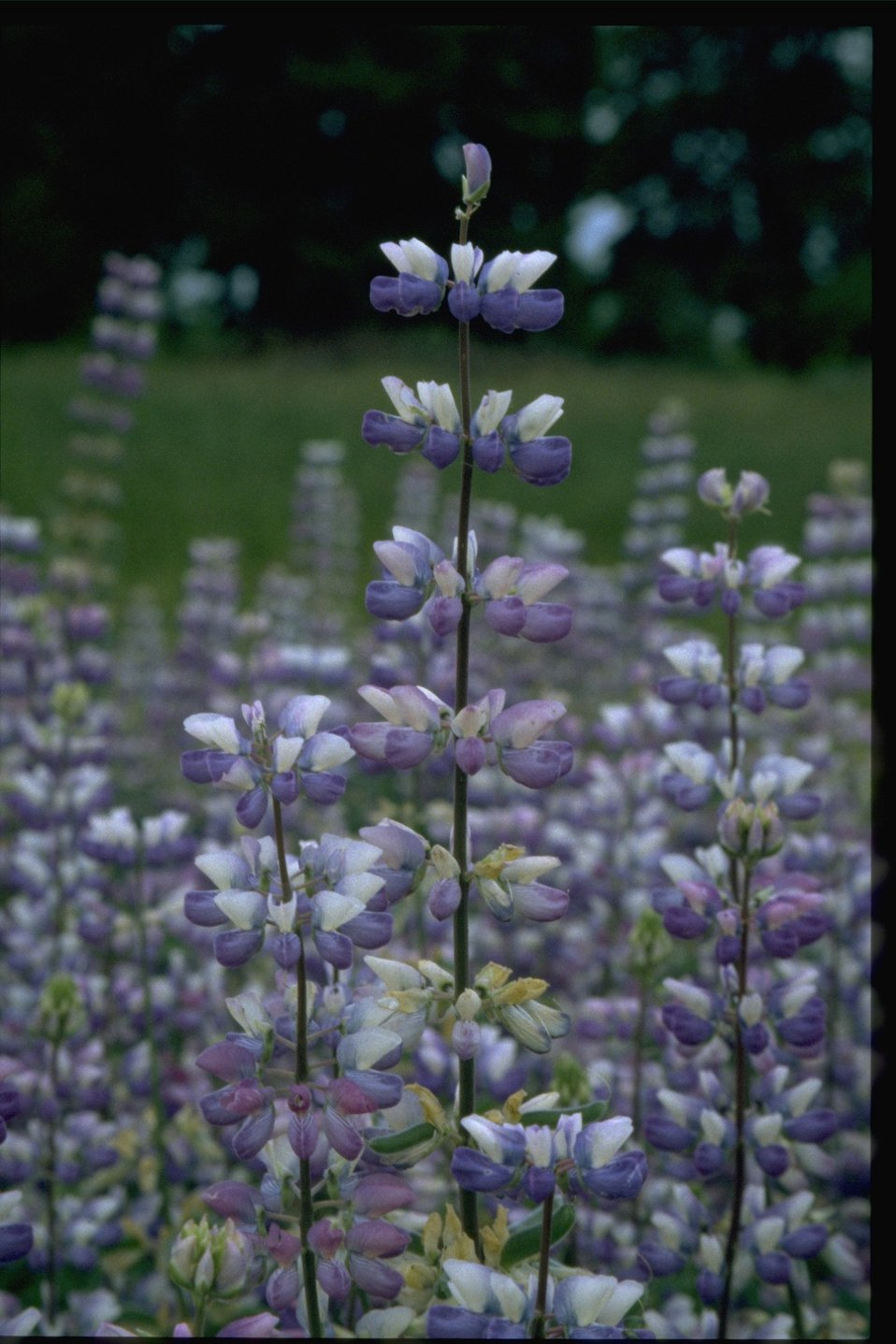 Closeup shot of lupine wildflowers (Lupinus arcticus).