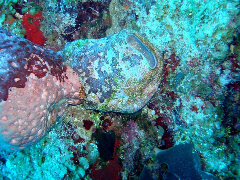 Sponge (Ircinia sp.)