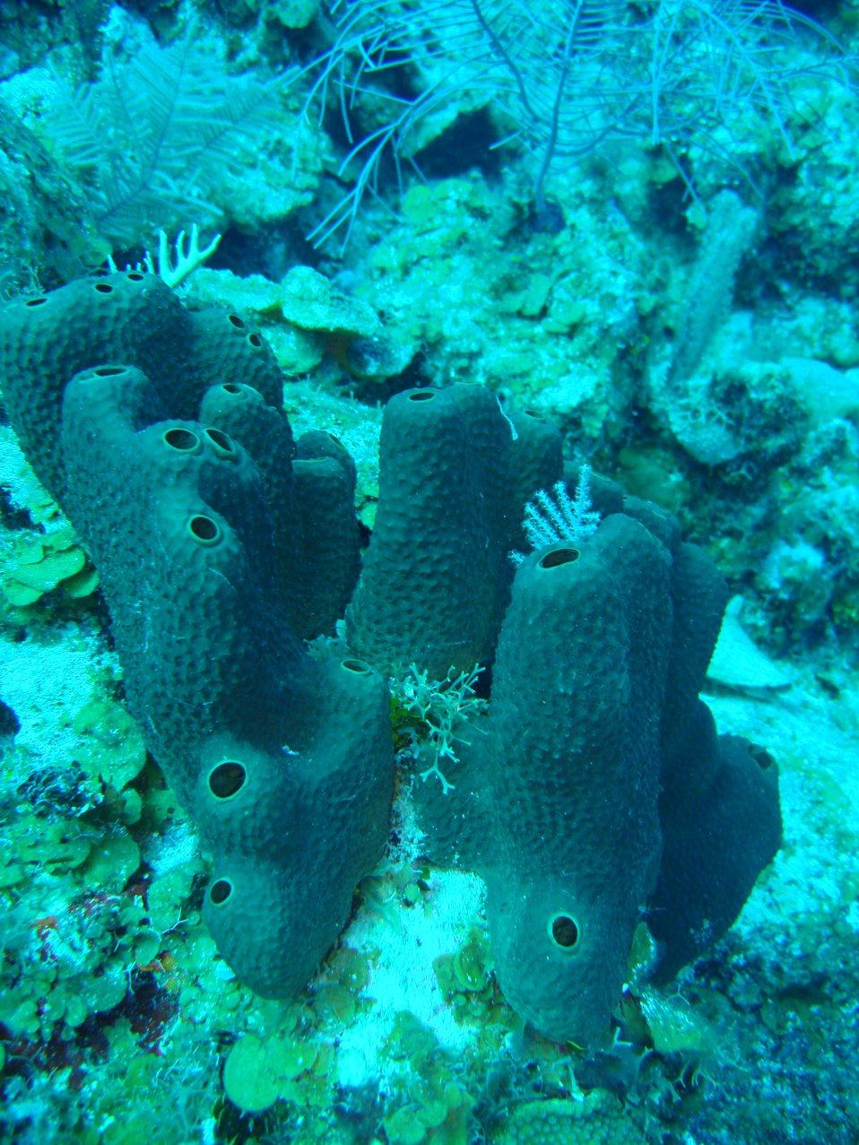 Sponge (Smenospongia aurea)