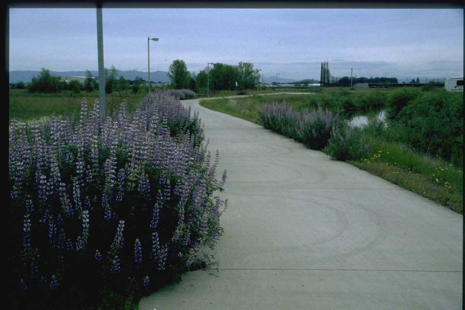 Lupine wildflowers along path.