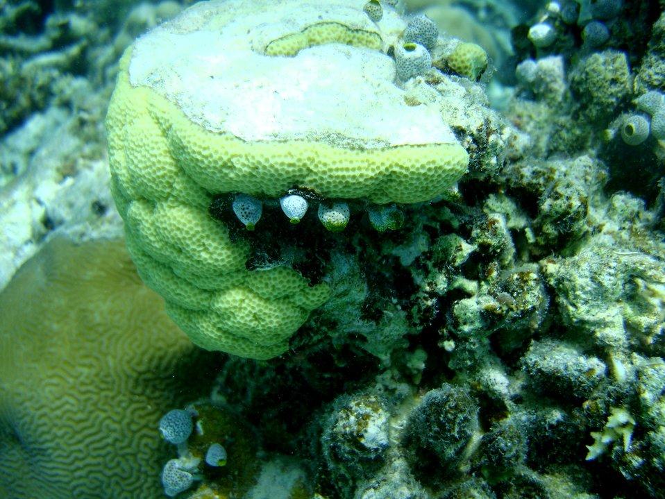 Faviidae coral