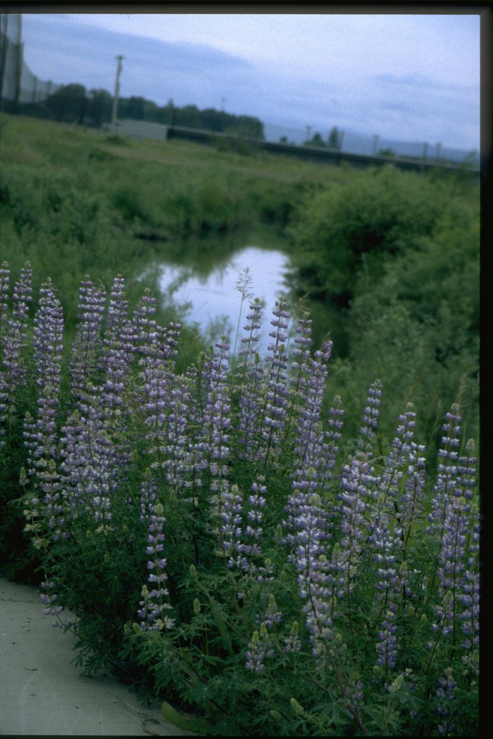 Medium shot of lupine wildflowers.