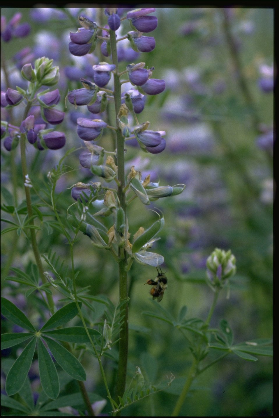 Medium shot of lupine wildflower (Lupinus arcticus).
