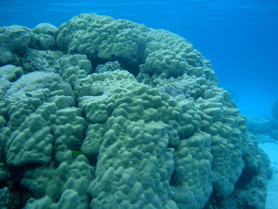 Poritidae coral Porites sp. massive coral dominating image