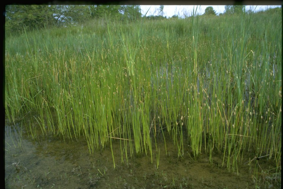 Medium shot of Typha latifolia/ Eleochon's.