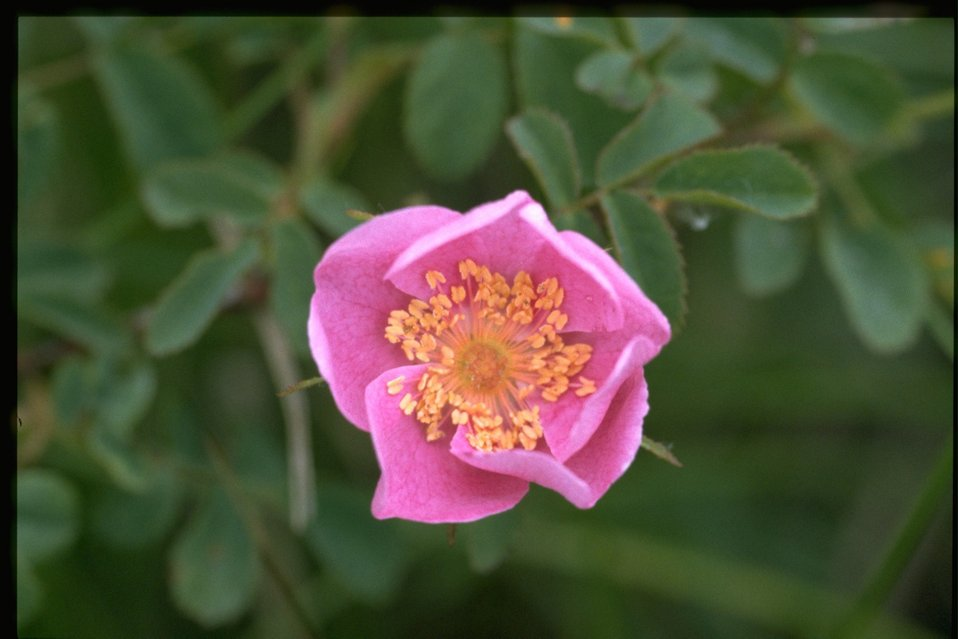 Medium shot of Rosa nutkana.