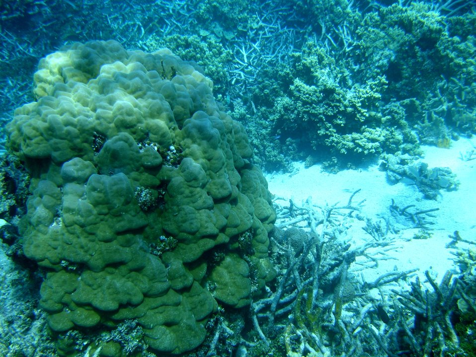 Poritidae coral Porites sp. left side of image