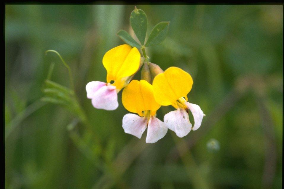 Closeup shot of Lotus pinnatus.