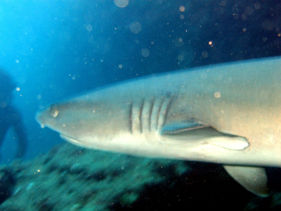 A white-tip shark (Triaenodon obesus) up close and personal. Mano lalakea as called in the Hawaiian language.