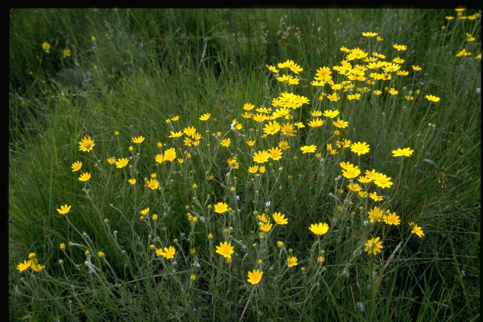 Medium shot of Eriophyllum lanatum.