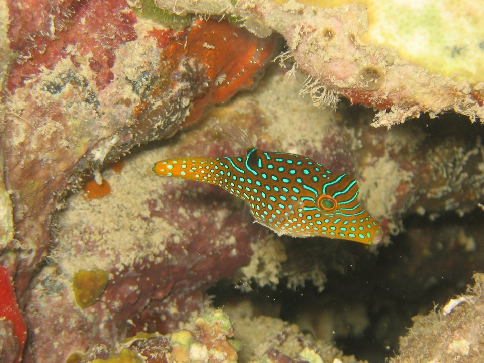Papuan toby, also known as sharpnose pufferfish,  (Canthigaster papua).