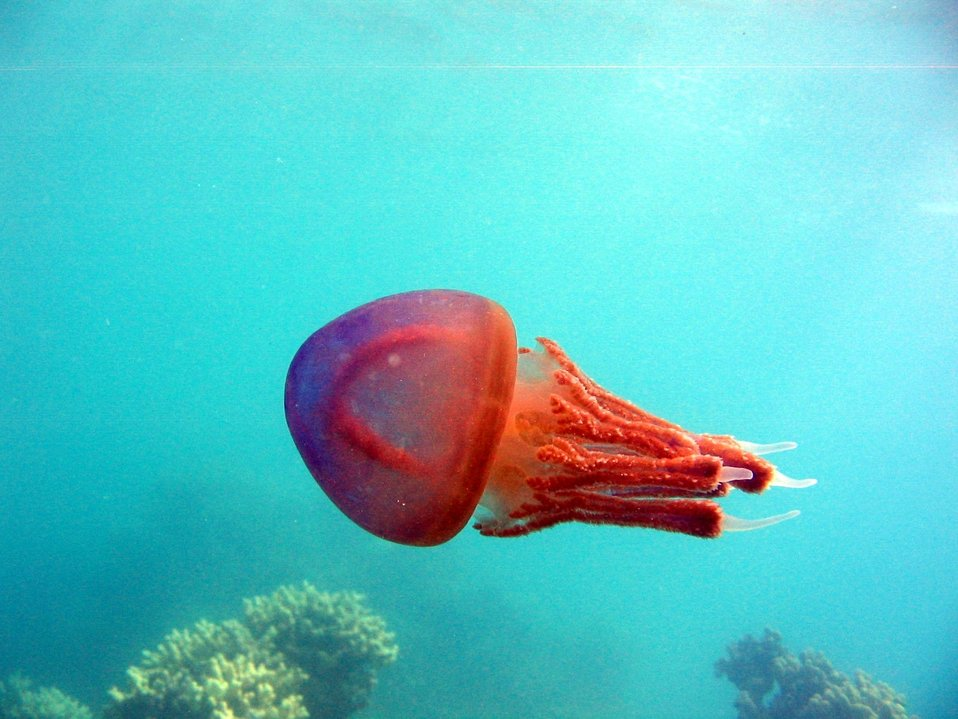 A red jellyfish.