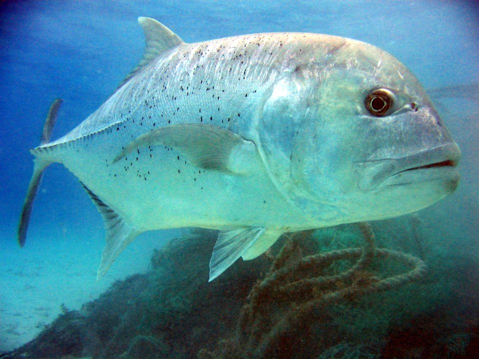 Giant trevally (Caranx ignobilis).  Ulua in Hawaiian language.