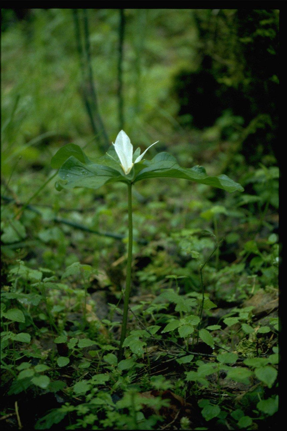 Medium shot of Trillium ovatum.