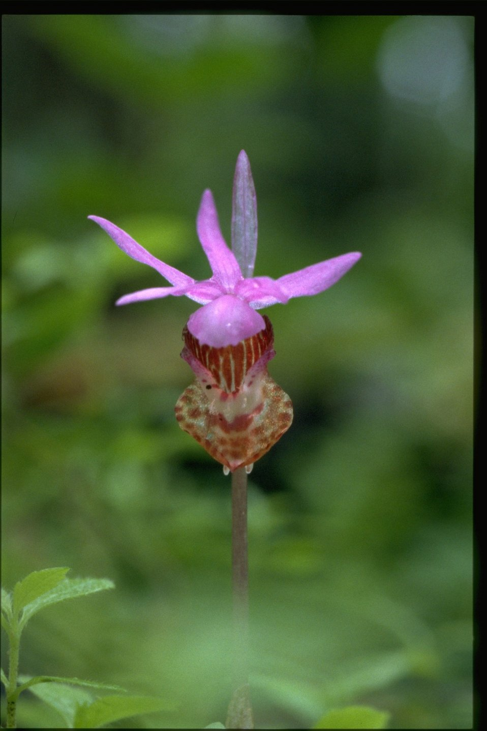 Closeup shot of Calypso bulbosa.