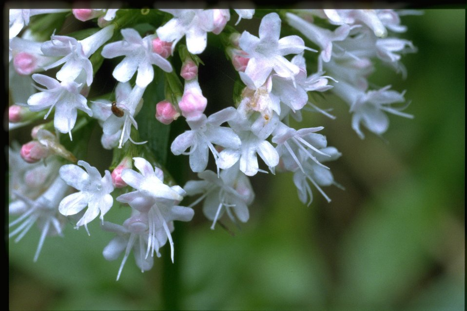 Closeup shot of Valeriana sitchensis.