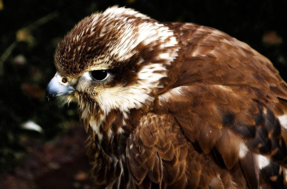 Jack harris hawk