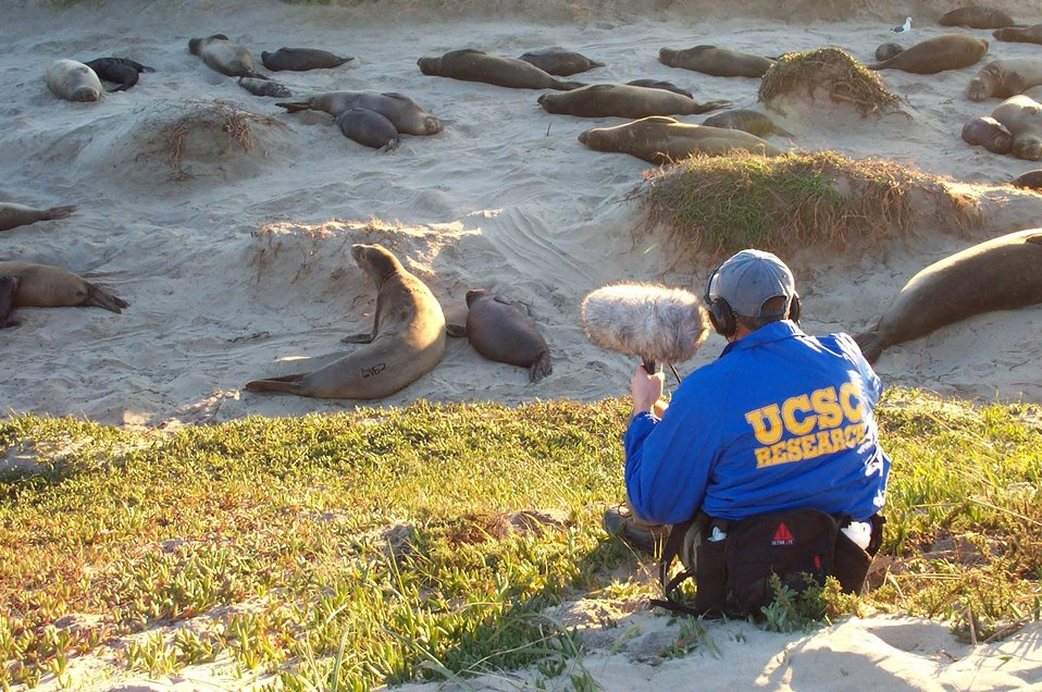 Studying elephant seal cows and calfs at Ano Nuevo Island.  Note labeling for identification.