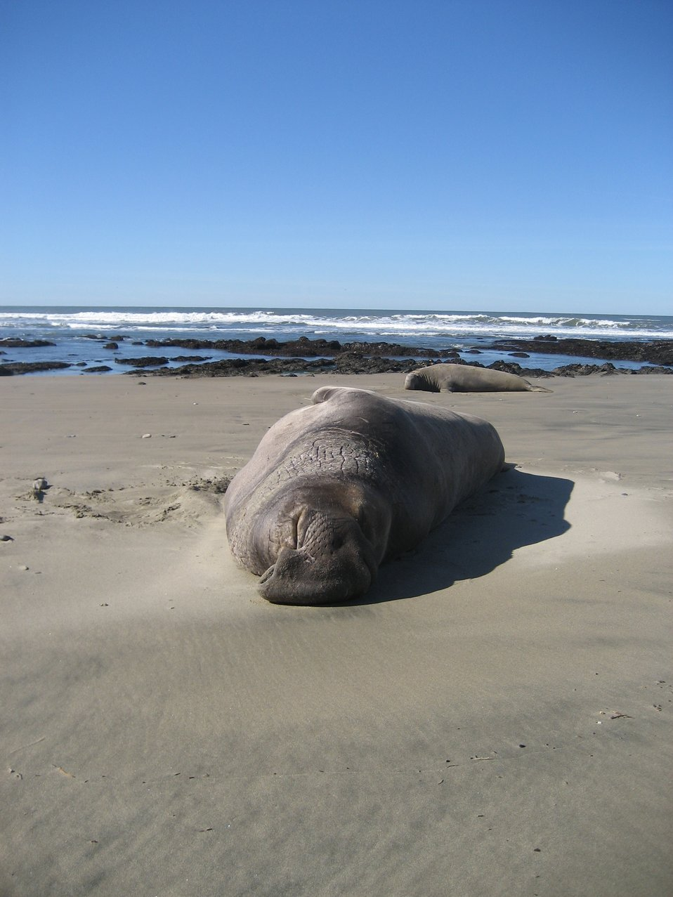 Male elephant seal hauled out on the beach at Ano Nuevo Island.