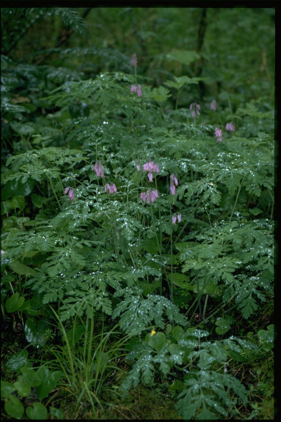 Medium shot of Pacific Bleeding Heart wildflowers (Dicentra formosa).