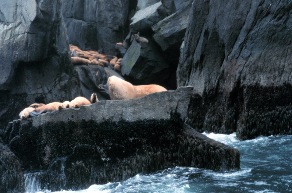 A large bull sea lion stands guard over his harem.