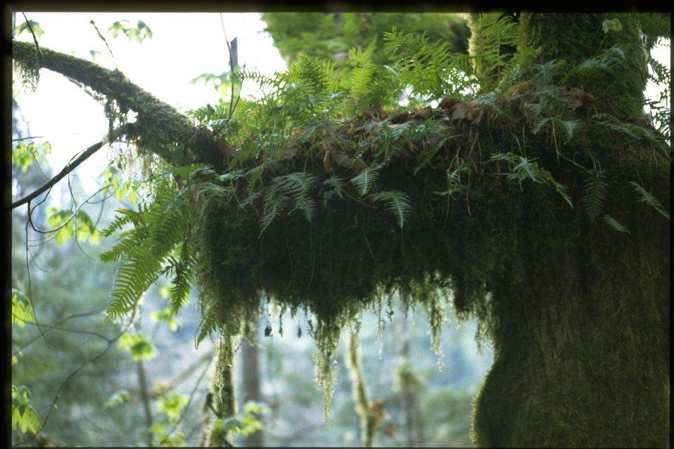 Polypodium glycyrrhiza.