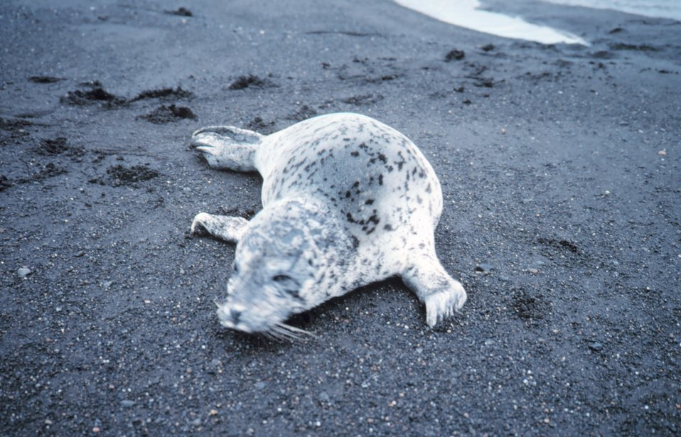 Spotted seal (Phoca largha) on a black sand beach.