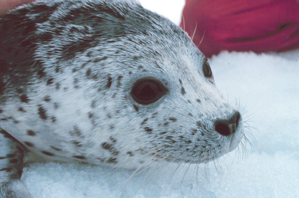 Tagging a spotted seal - Phoca largha.