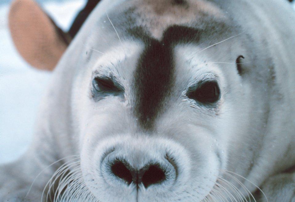 A bearded seal pup - Erignathus barbatus.