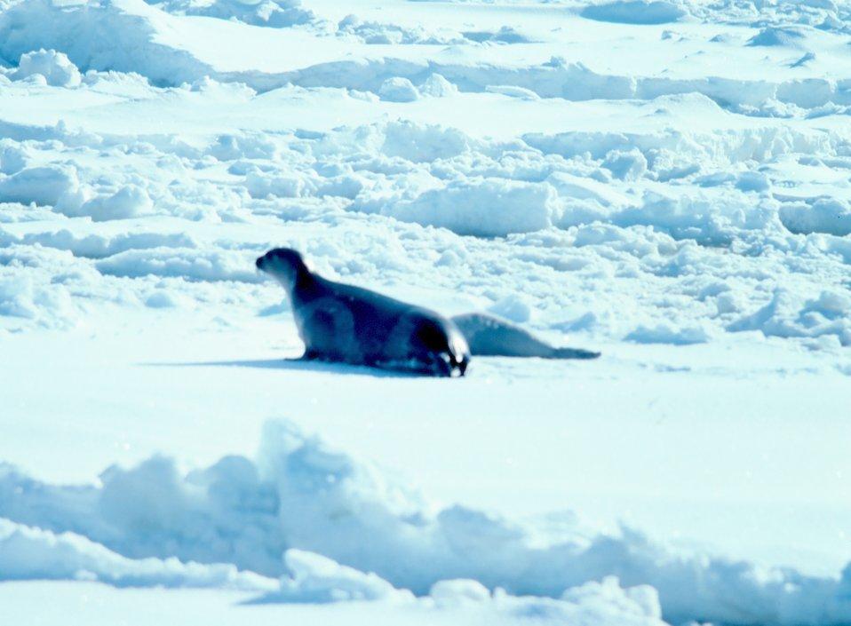 Ribbon seal - Phoca fasciata.