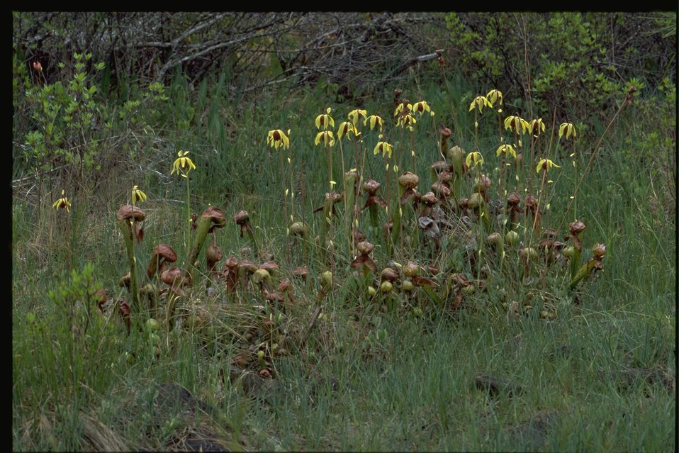 Farshot of Cobra Lily, Darlingtonia californica.