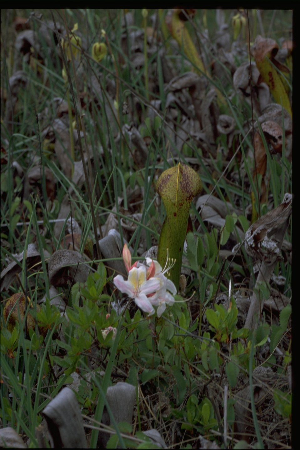 Medium shot of Darlingonia californica (Cobra Lily) and Rhododendron occidentale.