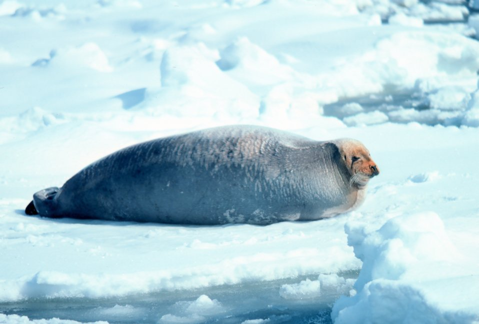 Bearded seal - Erignathus barbatus.