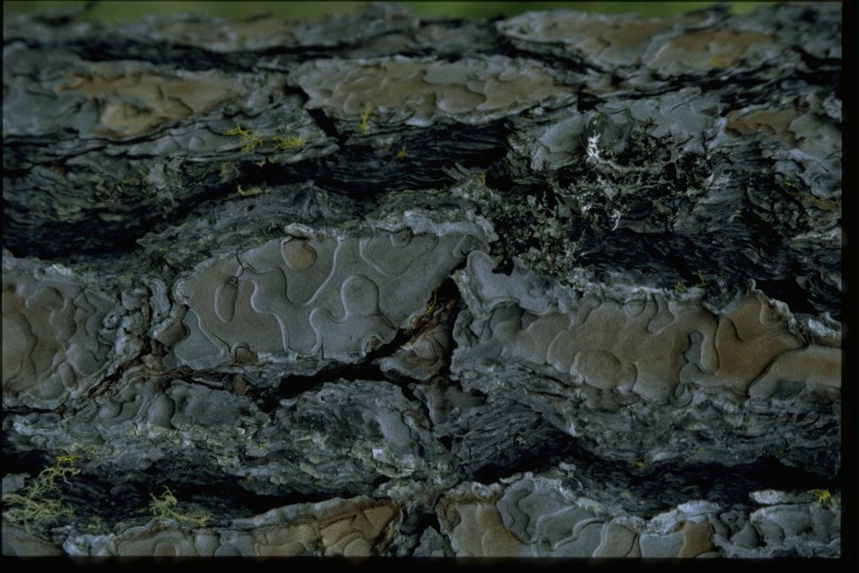 Closeup shot of Yellow Pine (Pinus jeffreyi) bark.