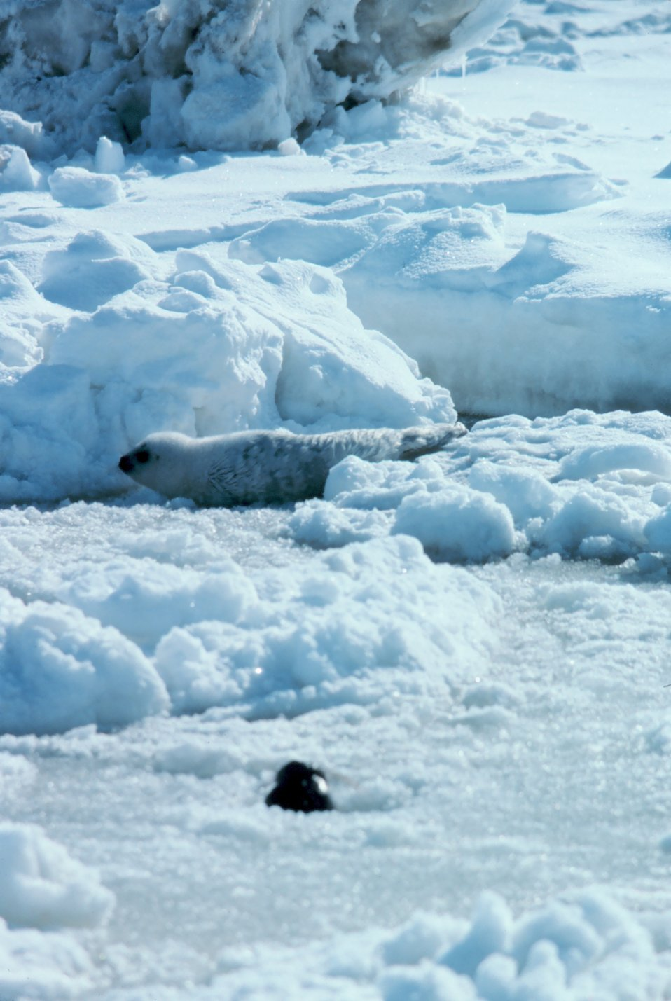Spotted seal pup - Phoca largha.