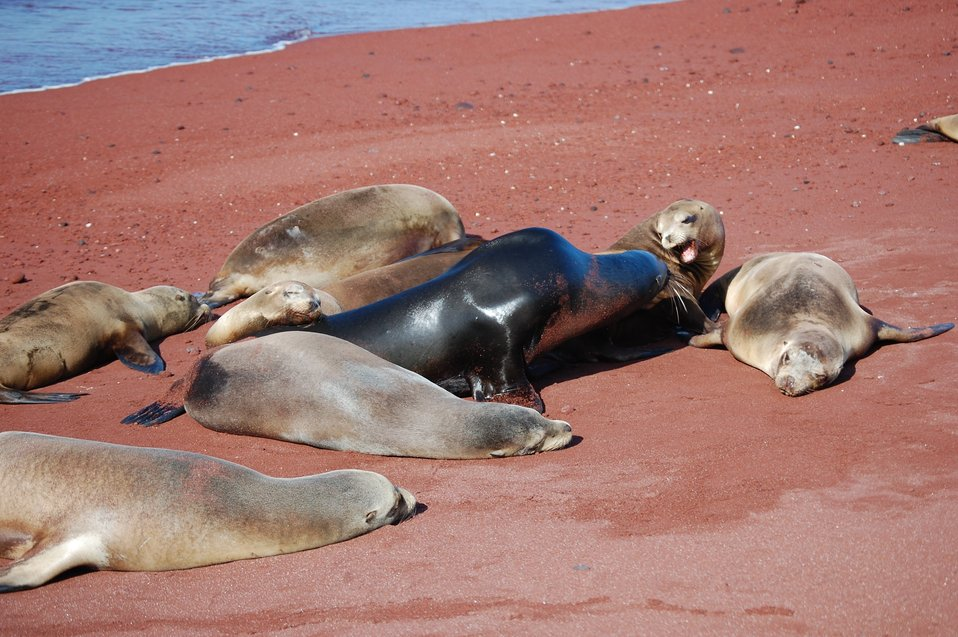 Bull sea lion amongst his harem.