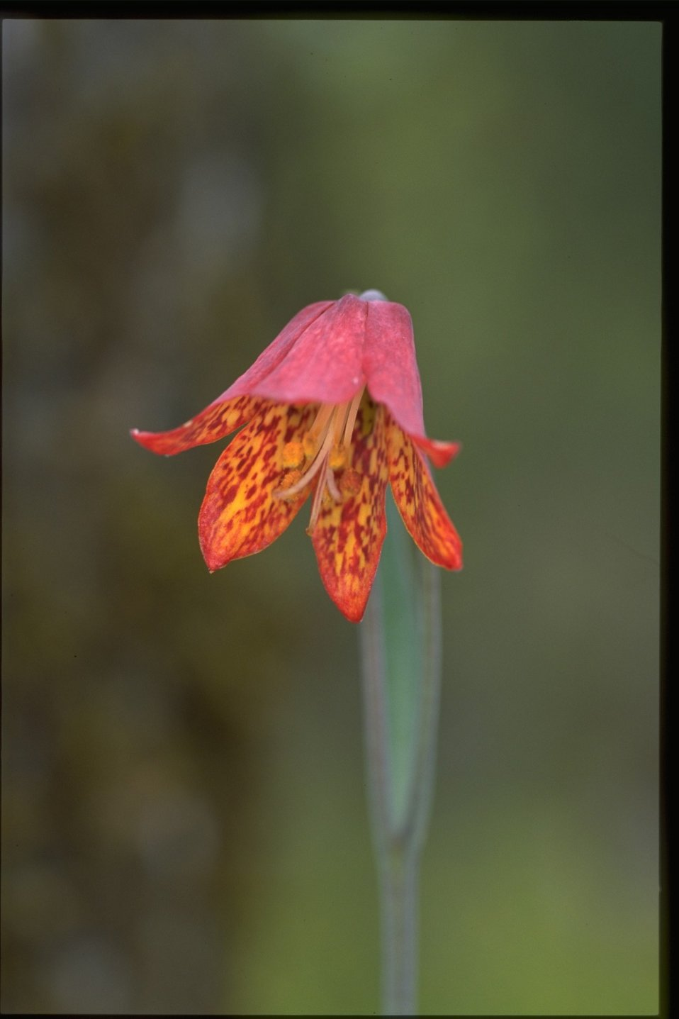 Closeup shot of Gentner's Fritillary, Fritillaria gentneri.