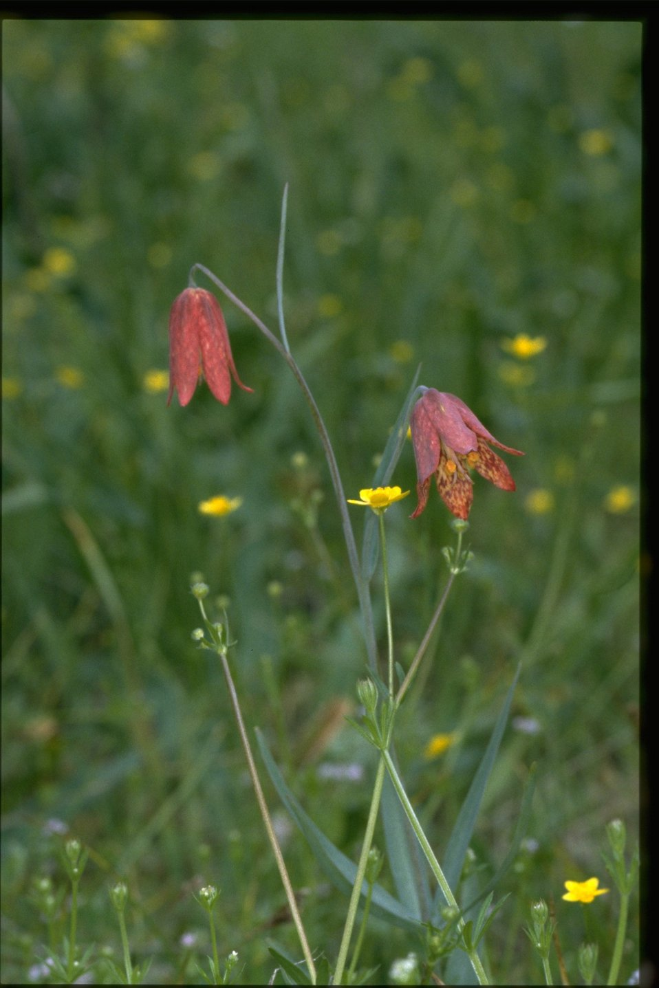 Medium shot of Gentner's Fritillary, Fritillaria gentneri.