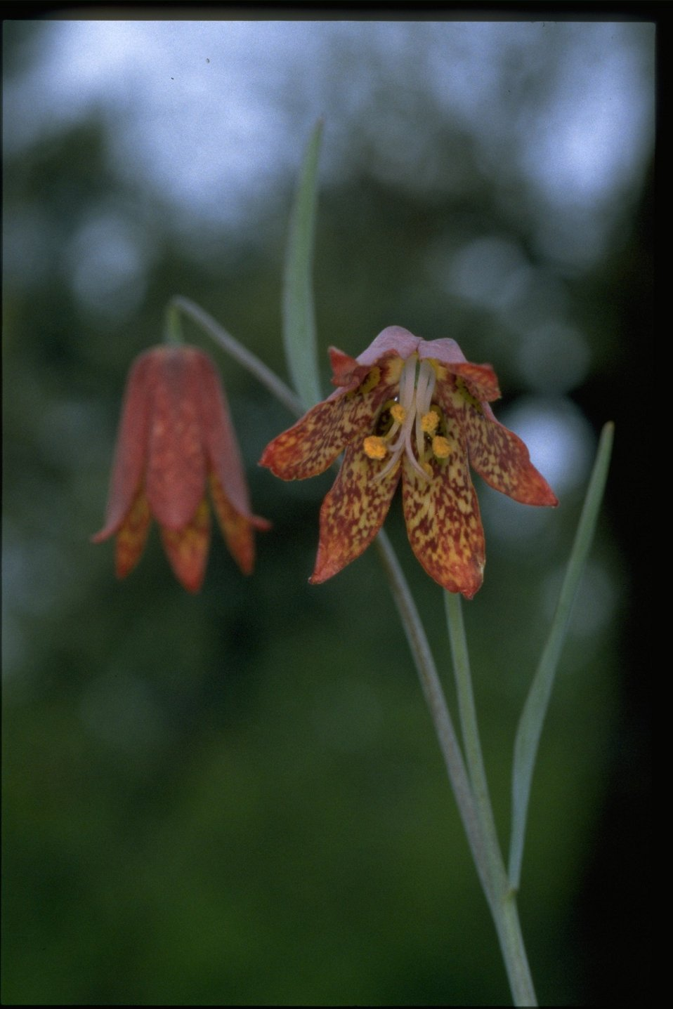 Closeup shot of Gentner's Fritillary.