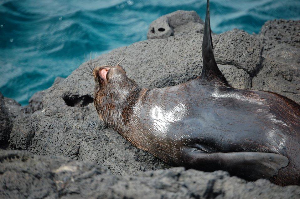 Fur seal.