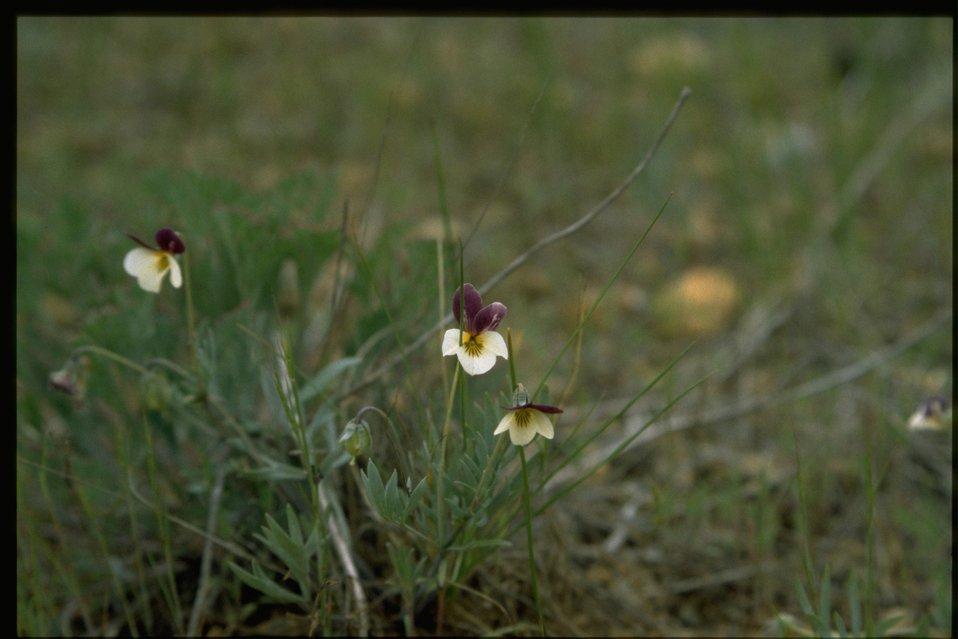 Farshot of Viola hallii.