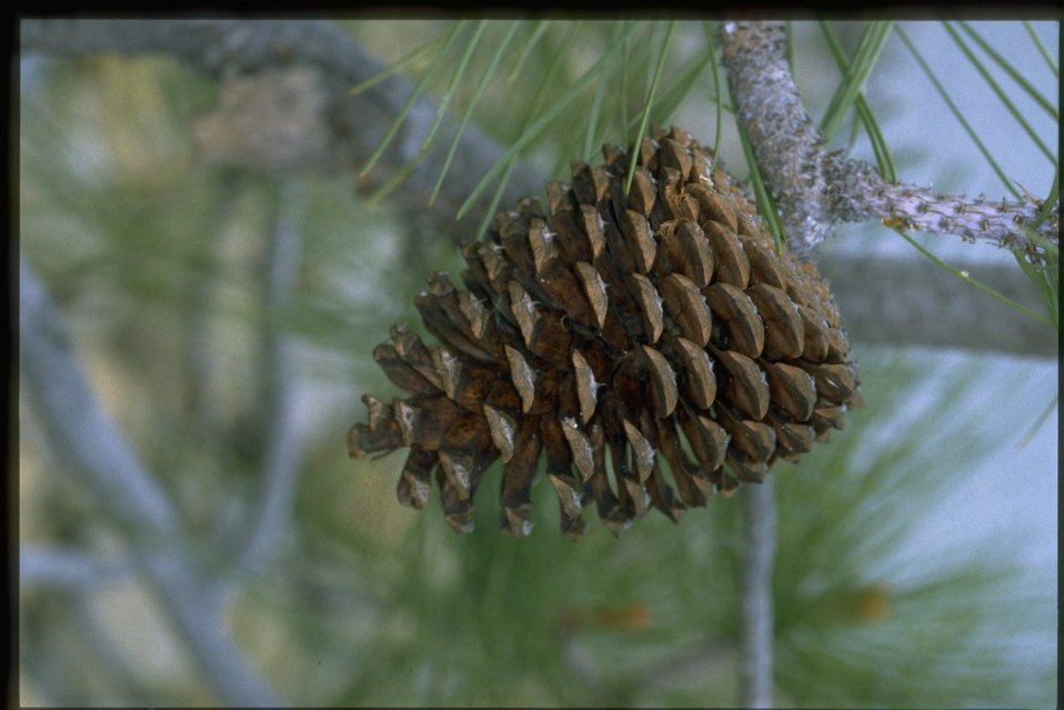 Closeup shot of pine cone from Pinus jeffreyi.