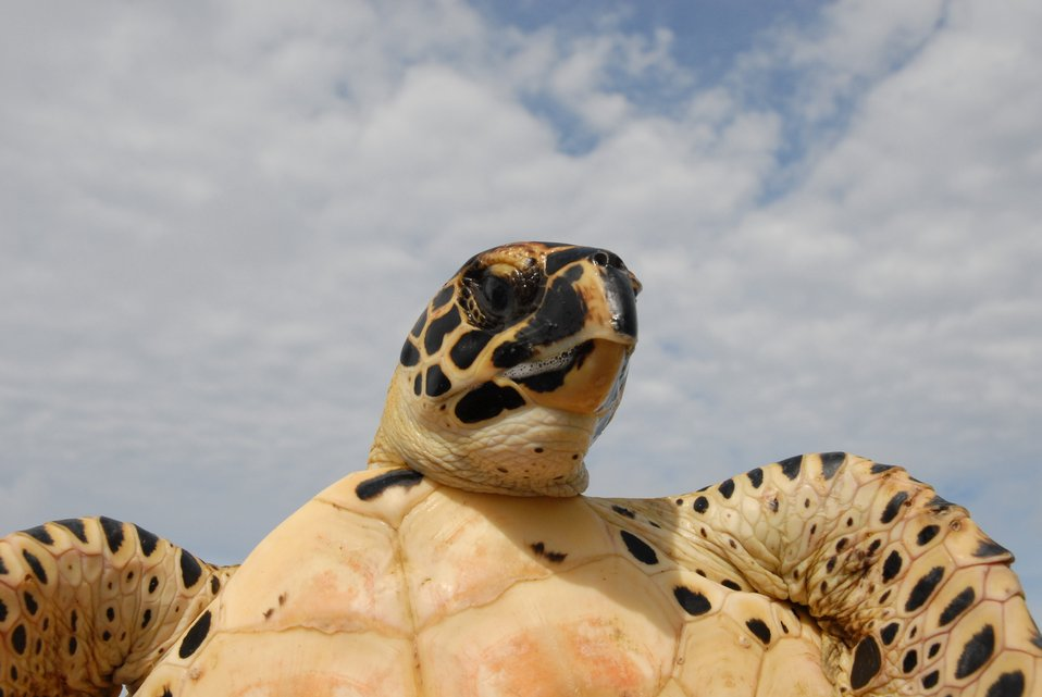 Sea turtle showing facial markings and underbody.