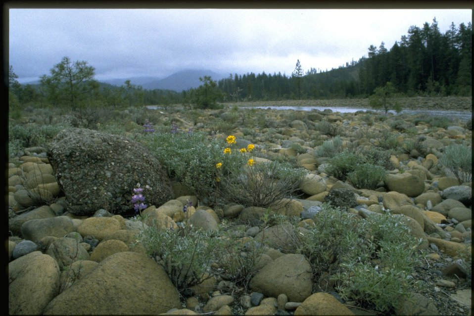 View of river and Lupine wildflowers from Rough & Ready.