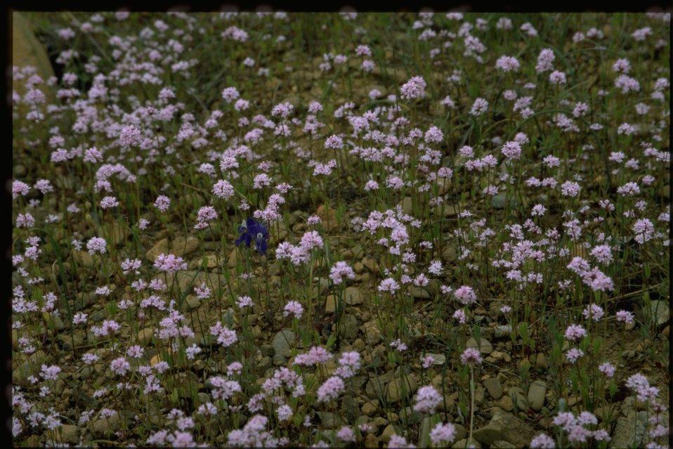 Farshot of Plectritis wildflowers.