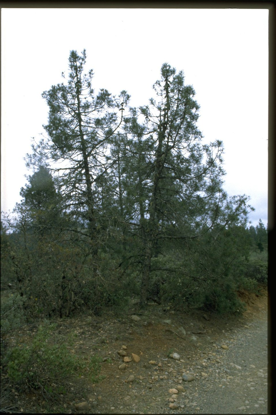 Farshot of Pinus attenuata.