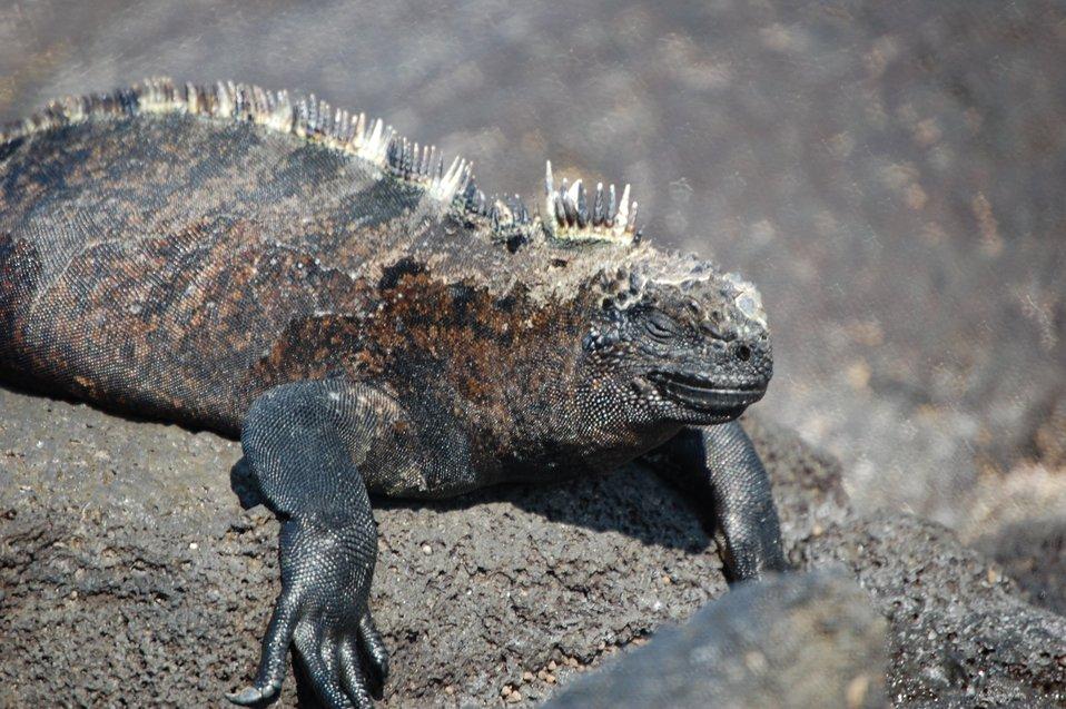 Marine iguana.