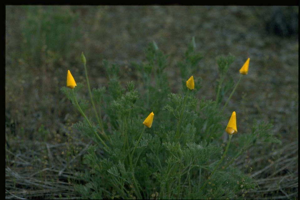 Farshot of Eschscholzia californica.