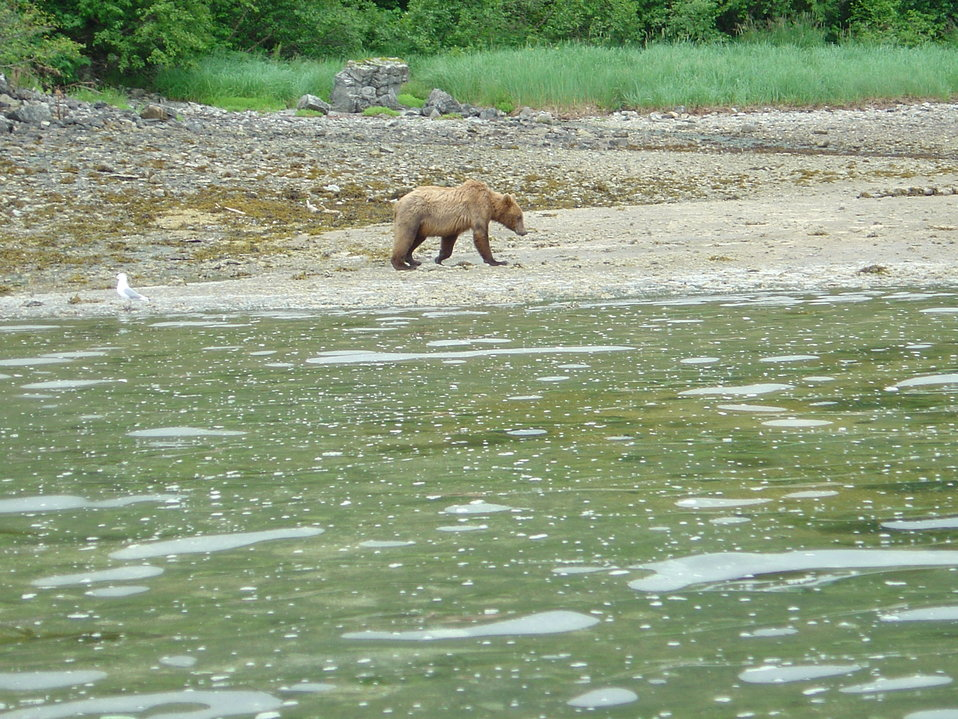 Young Alaska Brown Bear (Ursus arctos) strolling on the beach.