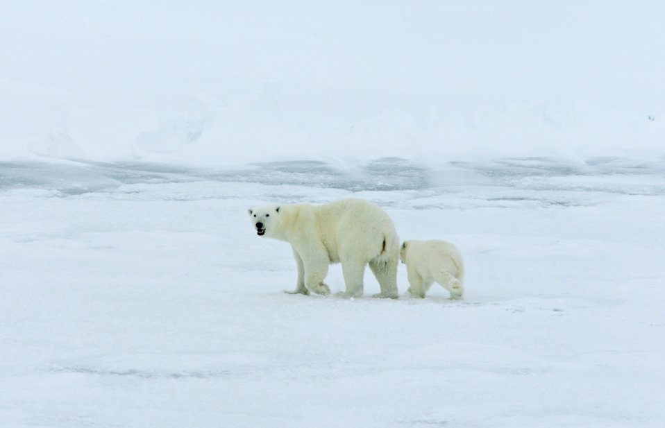 Polar bear with cub on the ice in the Arctic Ocean north of western Russia.